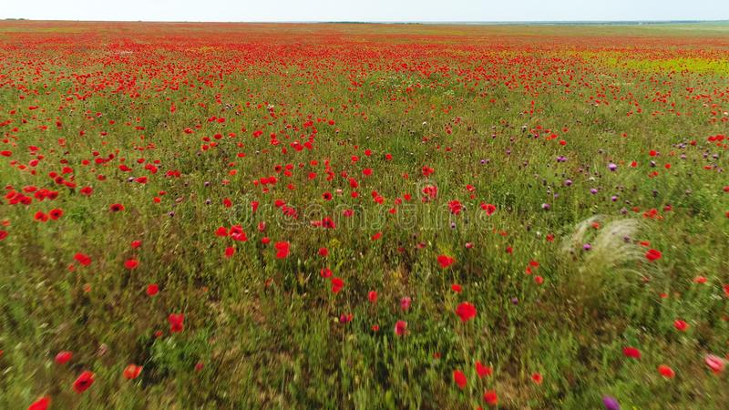 Landscape with nice cloudy blue sky over poppy field, colors of nature. Shot. Aerial for wild blooming red flowers and stock photo