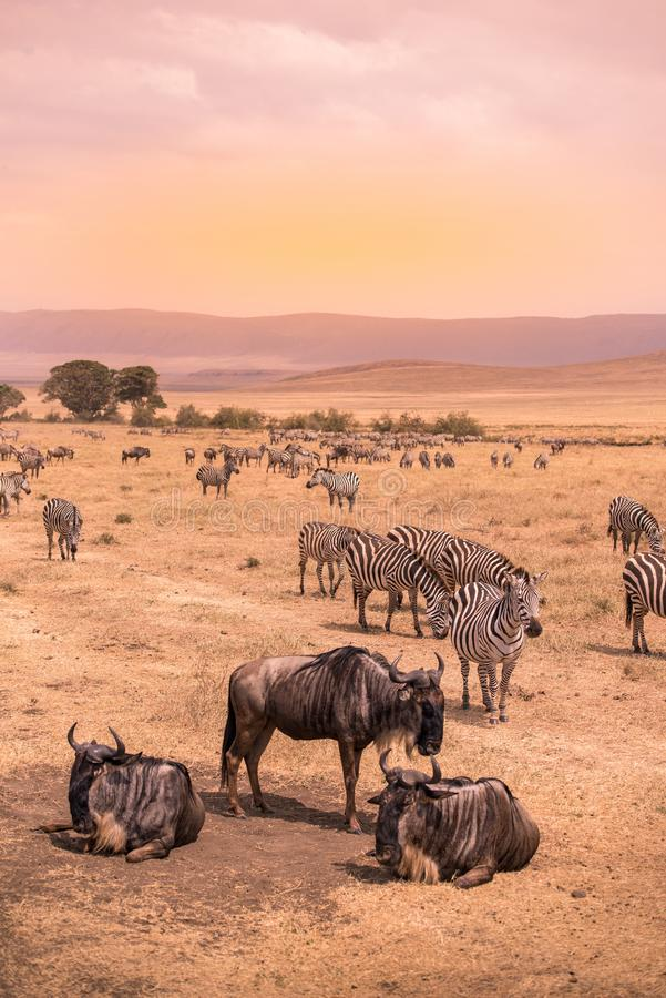 Free Landscape Of Ngorongoro Crater -  Herd Of Zebra And Wildebeests (also Known As Gnus) Grazing On Grassland  -  Wild Animals At Royalty Free Stock Photos - 144489878