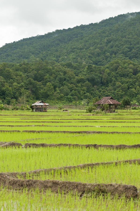 Free Landscape Of Rice Paddy Royalty Free Stock Images - 18109909