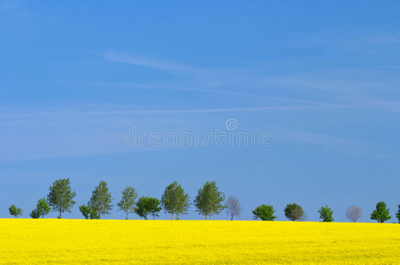 Landscape with oilseed stock photo