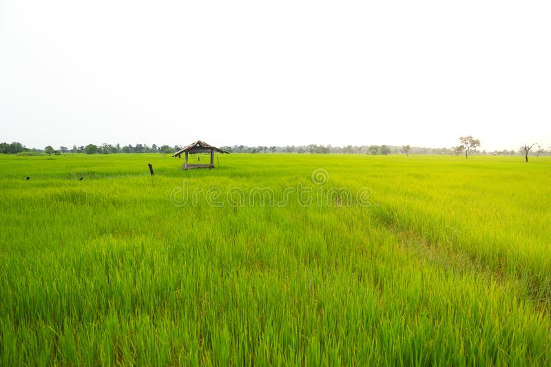 Landscape old cottage cabin in green rice field. In Thailand stock image