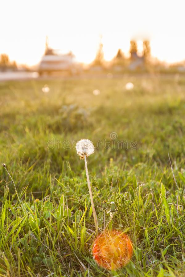 Landscape, one white dandelion in the evening beautiful back magic light.  stock images