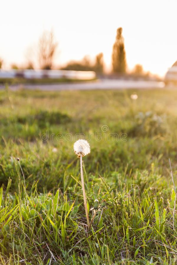 Landscape, one white dandelion in the evening beautiful back magic light.  royalty free stock photos
