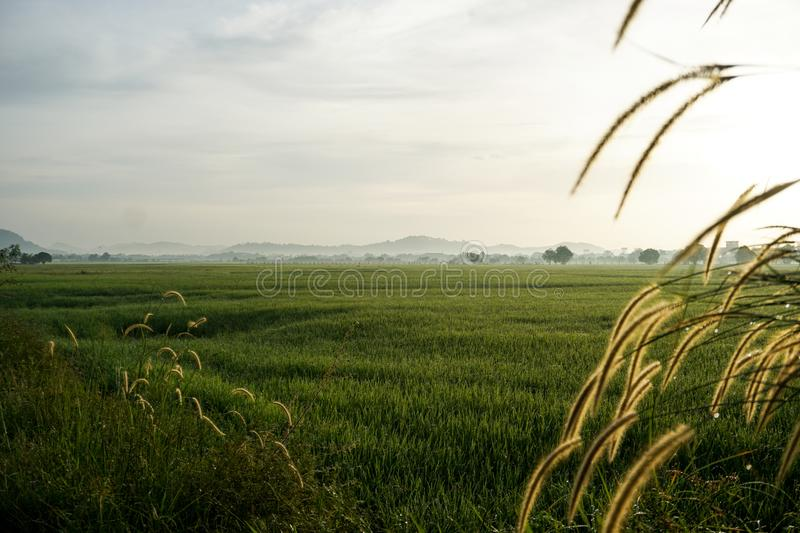 Grass flowers at sunrise at the paddy rice field stock photography