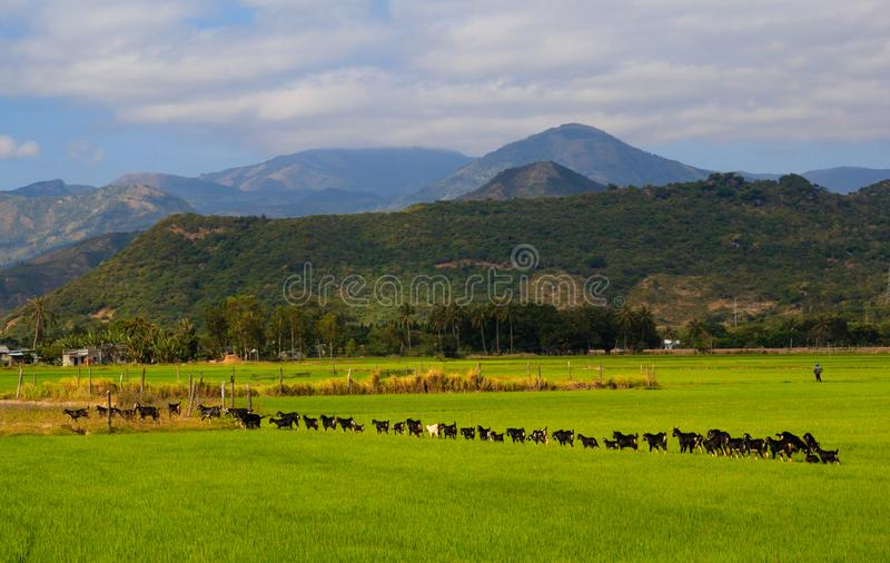 Landscape photo of beautiful. In Khanh Hoa province, vietnam, The goast line up in the cage between fields stock image