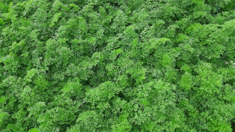 Carrot plant. Leaf stock photos