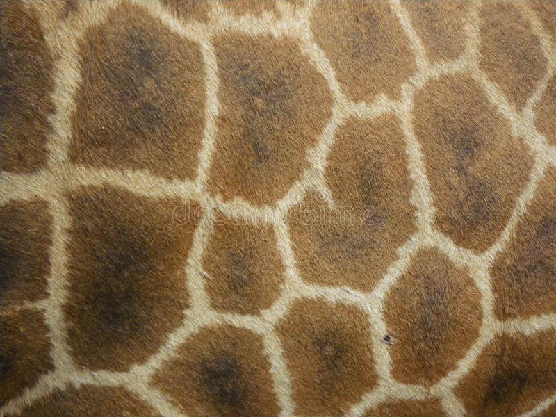 Pattern on side of giraffe. Landscape photo of the pattern of a giraffe`s skin/leather. Photo is of the side aspect of a giraffe stock images