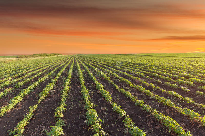 Landscape photo of soybean meadow at beautiful sunset stock photos