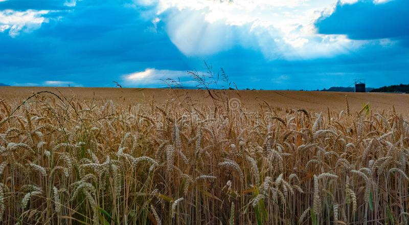 Landscape photo of wheat field stock images