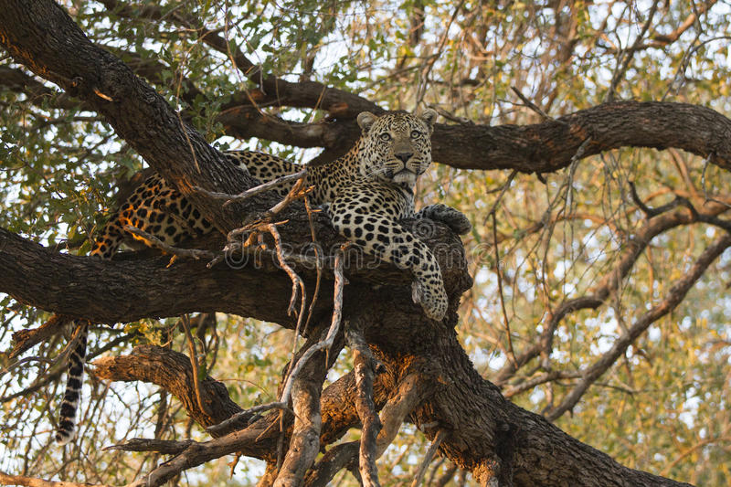 Landscape photograph of male leopard resting in big tree stock photos