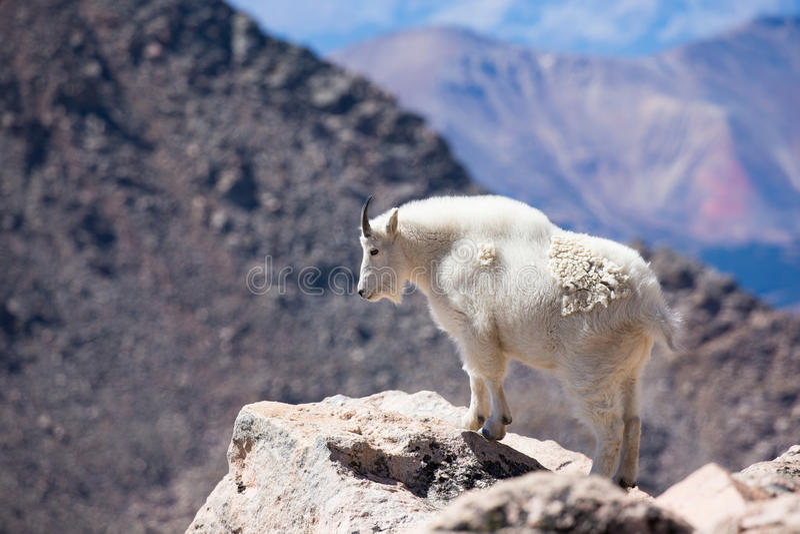 Landscape Photograph of Mountain Goat stock image