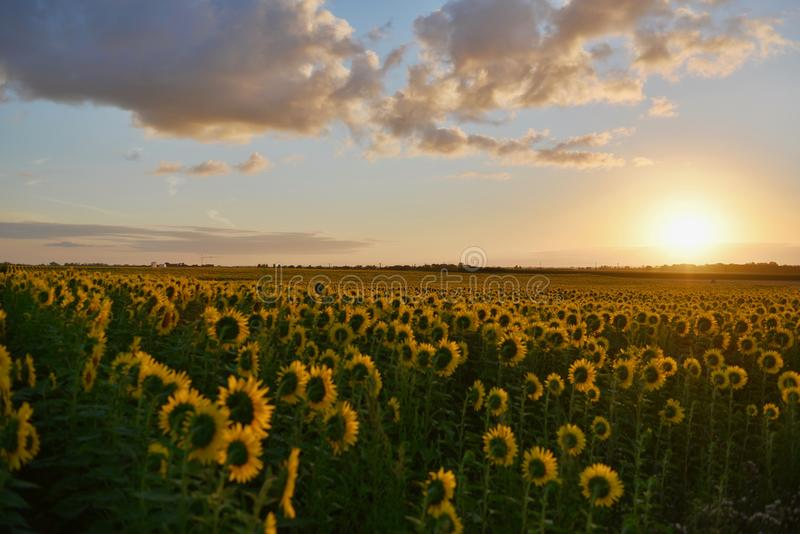 Landscape Photography of Sunflower Field during Sunset royalty free stock photo