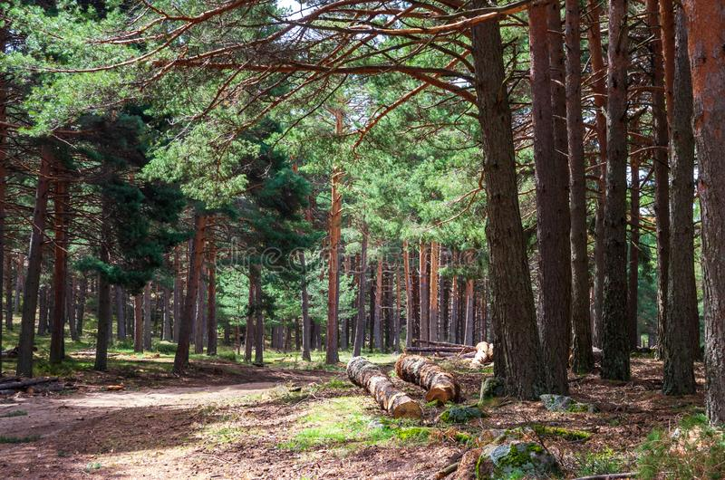 Landscape of a pine forest with a path crossing. Landscape of a pine forest path crossing among trees royalty free stock photo