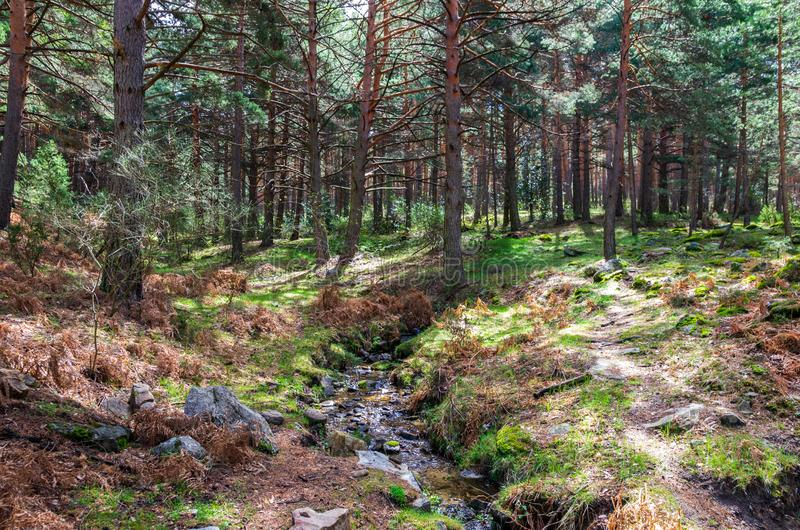Landscape of a pine forest with a small river crossing royalty free stock photography