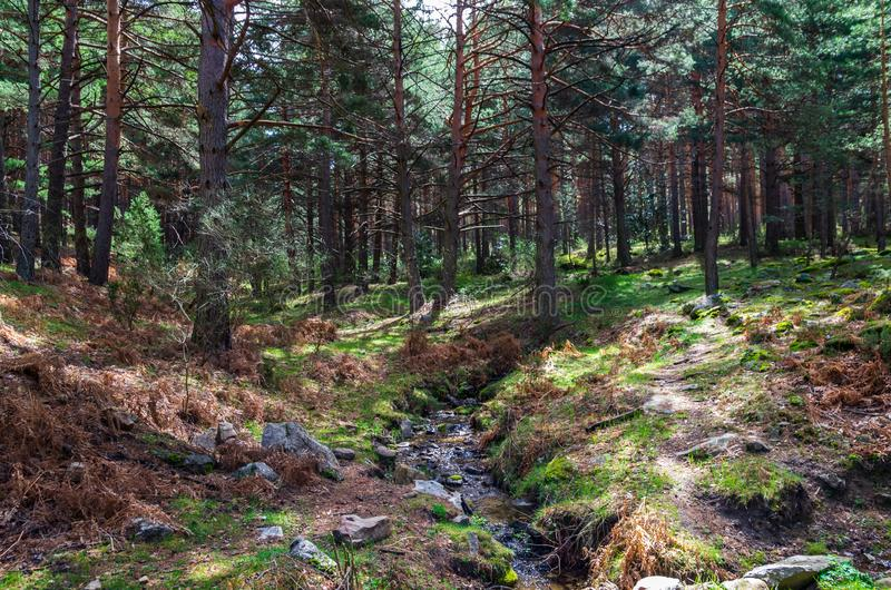 Landscape of a pine forest with a small river crossing stock photos