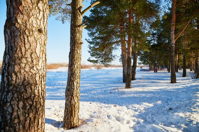 Landscape with pine trees on a Sunny winter or spring day. Nice landscape with pine trees on a Sunny winter or spring day stock image