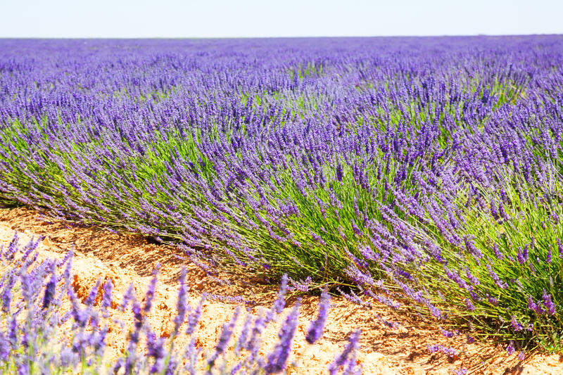 Landscape with plant of blue lavender royalty free stock photo