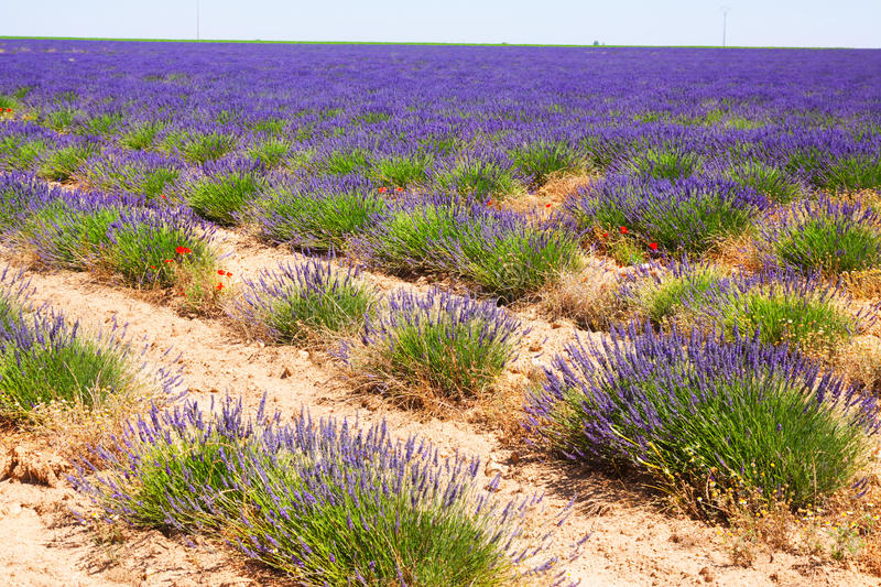 Landscape with plant of lavender royalty free stock images