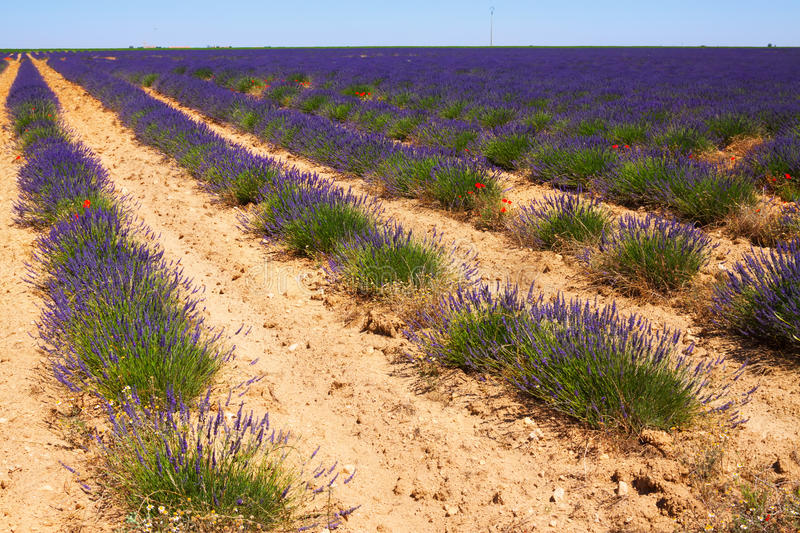Landscape with plant of lavender royalty free stock image