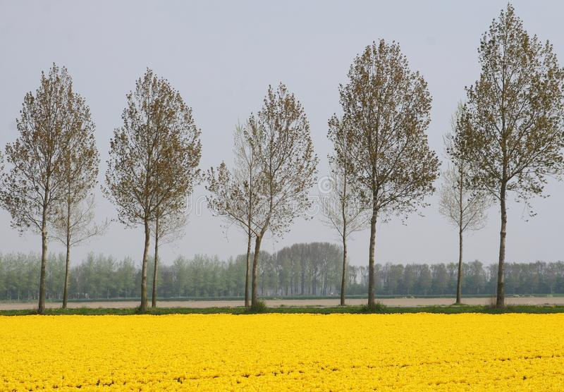 Yellow agricultural spring landscape along the bulb route in Noordoostpolder, Flevoland, Netherlands. Landscape with blooming tulips along the bulb route in the stock image
