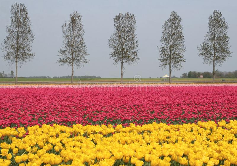 Pink and yellow flowerfields, agricultural industries in the Noordoostpolder, Flevoland, Netherlands. Landscape along the touristic tulip route in the Northeast stock image