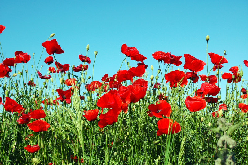Landscape, poppy field royalty free stock photos