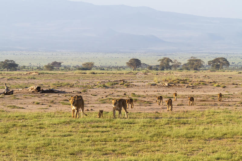Landscape with pride of lions. Amboseli, Kenya stock images