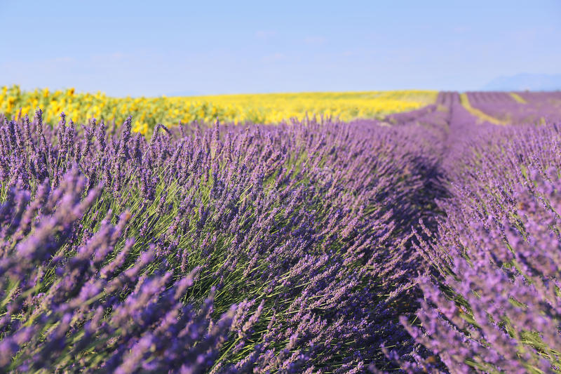 Landscape Provencal: lavender field and sunflowers field. Focus selective royalty free stock photo