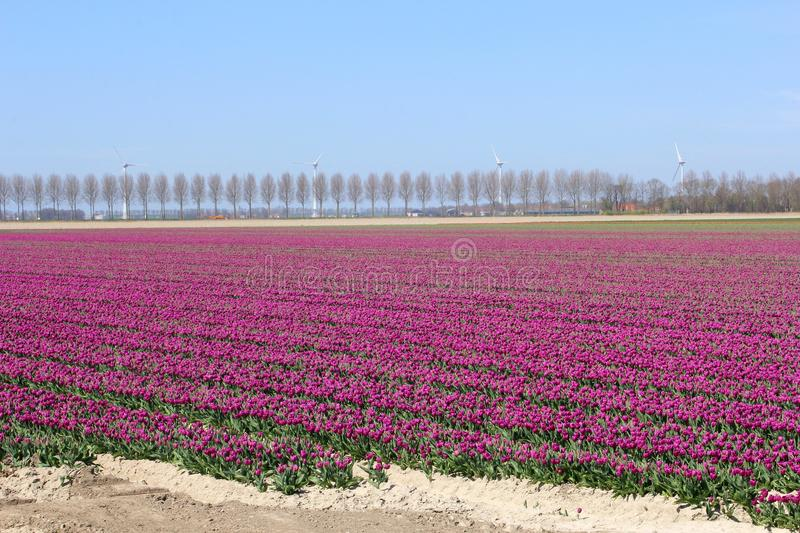 Reclaimed land with flower fields and windturbines in the Netherlands. Landscape of reclaimed land with purple flowerfields and agricultural industries along the stock images