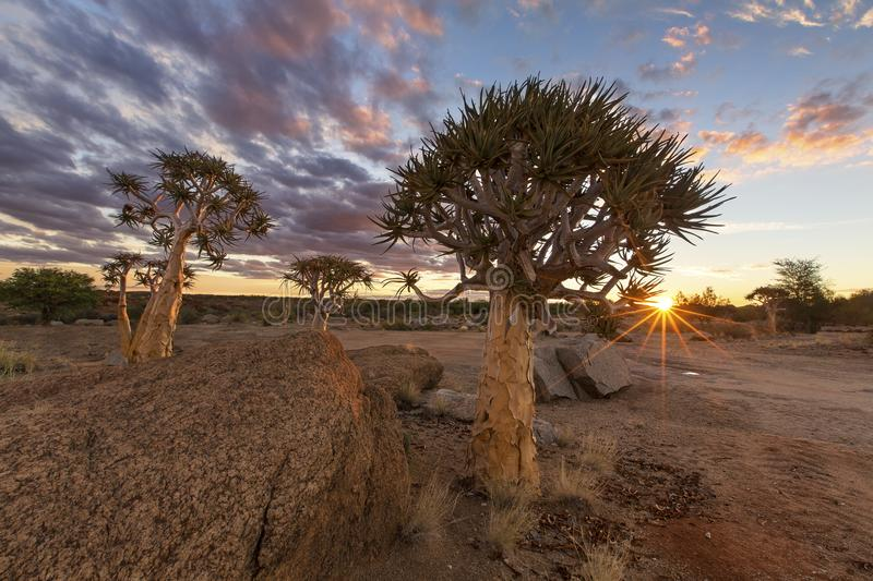 Landscape of a Quiver Tree with sun burst and thin clouds in dry royalty free stock photography