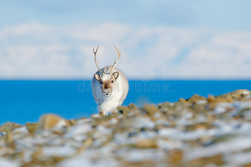 Landscape with reindeer. Winter Svalbard. Wild Reindeer, Rangifer tarandus, with massive antlers in snow, Svalbard, Norway. Svalba. Landscape with reindeer stock photos