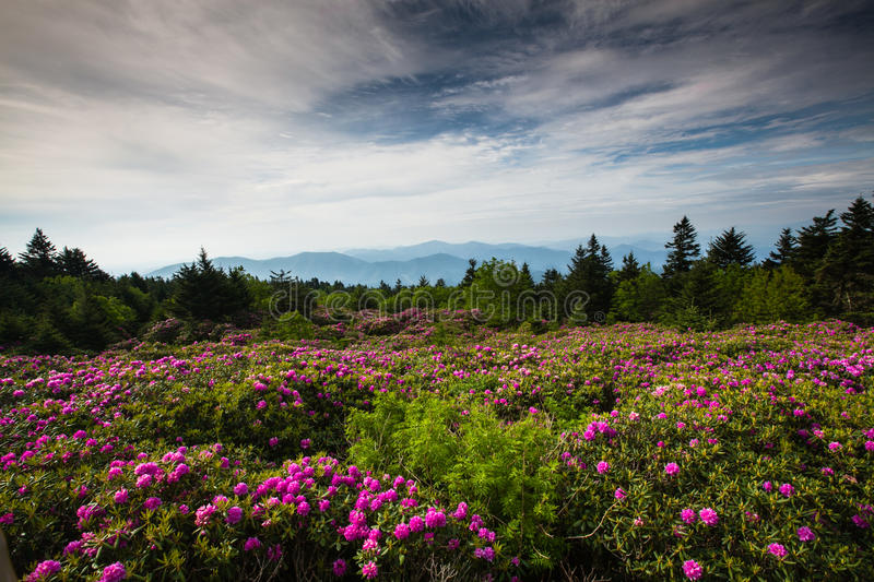 Landscape Rhododendron Roan Mountain Tennessee royalty free stock photos