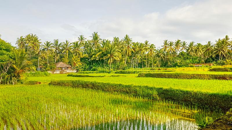 Landscape Rice Fields on Bali in Sangeh royalty free stock images