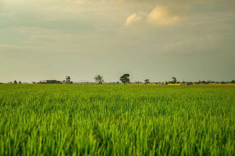 Landscape of rice paddy field stock photography
