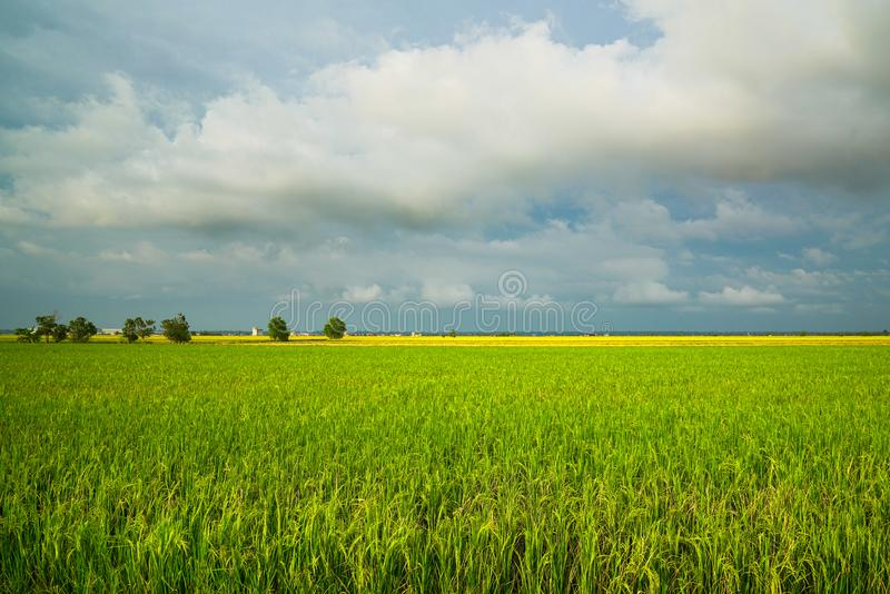Landscape Of Rice Paddy Field Stock Photo - Image of ...