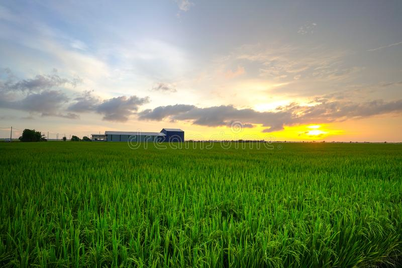 Landscape of rice paddy field stock images