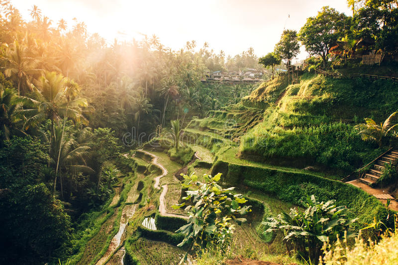 Landscape with rice terraces in famous tourist area of Tagalalang, Bali, Indonesia. Green Rice fields prepare the harves royalty free stock images
