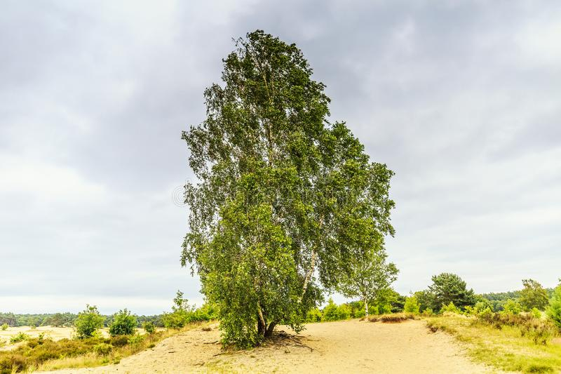 Landscape Rozendaalse Veld i with solitary Birch tree, Betula pendula. Landscape Rozendaalse Veld in the Dutch province of Gelderland during the great drought stock photos