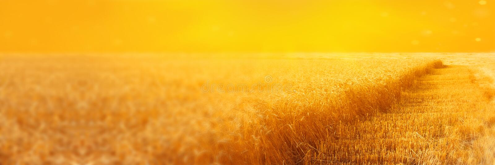 Landscape of rye field with beveled strips during harvesting at sunset. Summer agriculture rural background. Panoramic image royalty free illustration