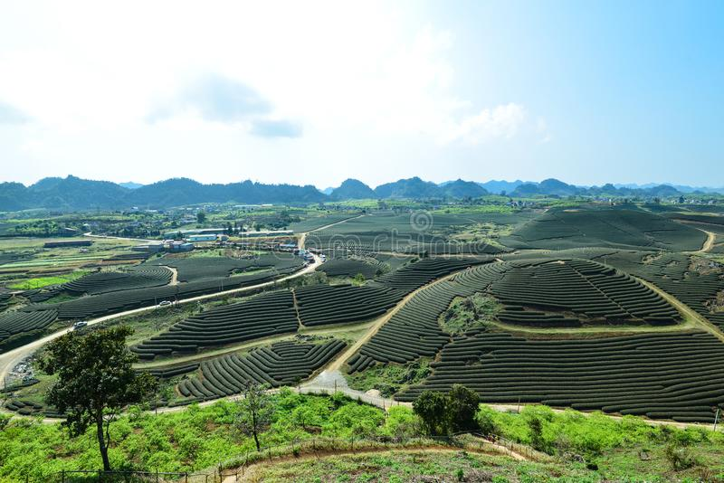 Landscape, scenery of Moc Chau, Son La, Vietnam. Tea hill in Moc Suong, Chau, Son La, Vietnam. Special tea trees are shaped as a heart That is a good place for stock photo