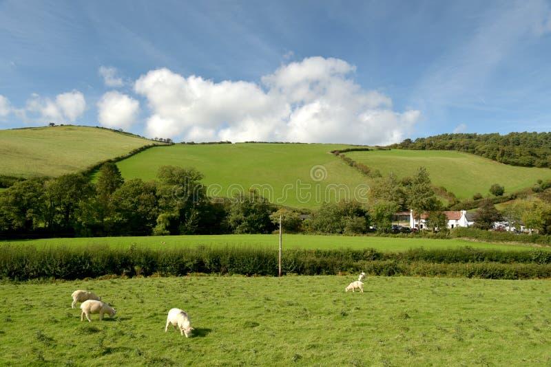 Sheep in field, Doone Valley, Exmoor, North Devon. Landscape with sheep grazing in field near Malmsmead, Doone Valley, Exmoor, North Devon stock photos