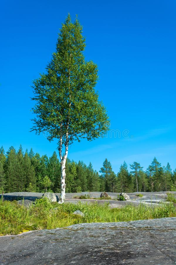 Lonely birch on a rocky plateau. Landscape with single birch on a rocky plateau, Karelia, Russia stock photography