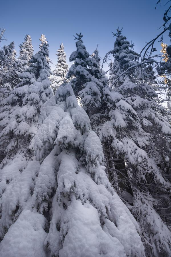 Landscape of the snowy dense forest in a mountains. View of snow-covered tall firs and impassable snowdrifts. stock images