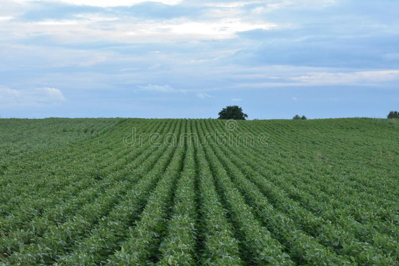 Landscape. The soybean lines blend with the blue sky in the distance stock image