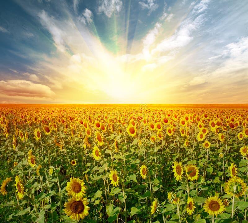 Free Landscape Sunflower Field Stock Photos - 22959183