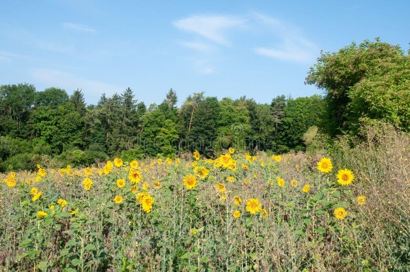 Landscape with sunflower field in swabian alb. Rural landscape in swabian alb in southern germany with sunflower field and forest in background royalty free stock image