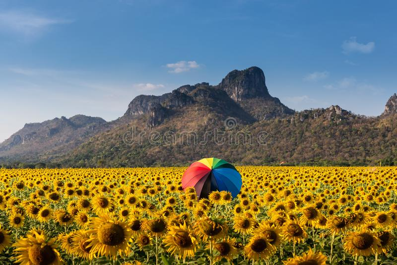 Landscape of sunflowers field with colorful umbrella in farming., Plantation agriculture of organic farm at daylight., countryside stock image