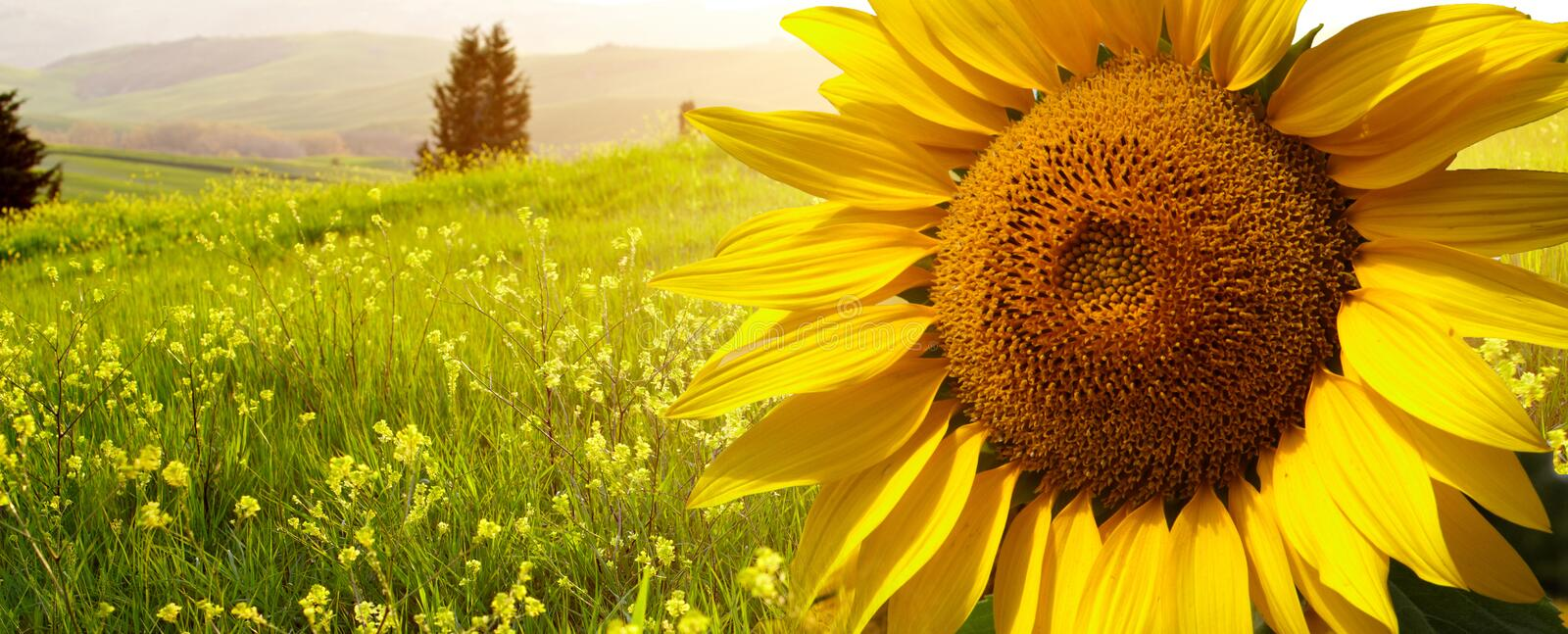 Landscape with sunflowers in Tuscany, stock images