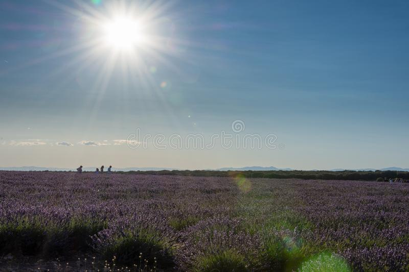 Landscape at sunset in a lavender field with walkers. In Brihuega, Spain, Europe royalty free stock photo