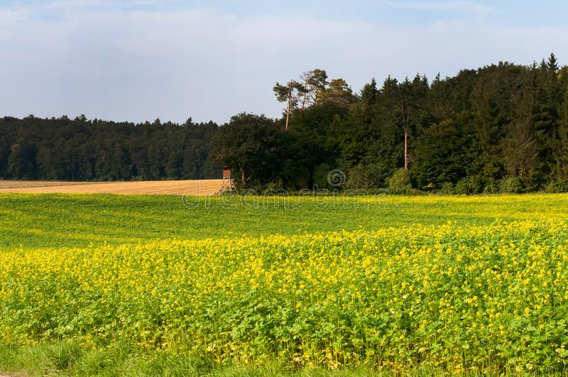 Rural landscape in swabian alb with mustard field. Landscape in swabian alb, germany, with mustard field and forest on sunny summer day royalty free stock photos